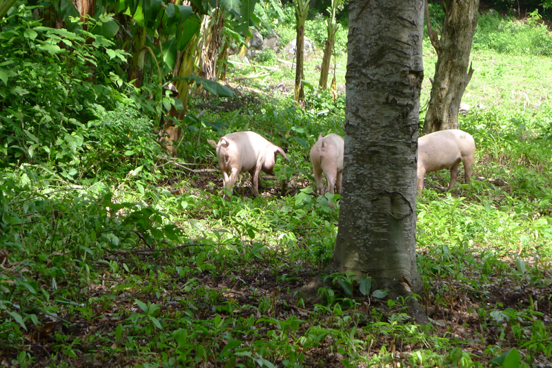 pigs in forest